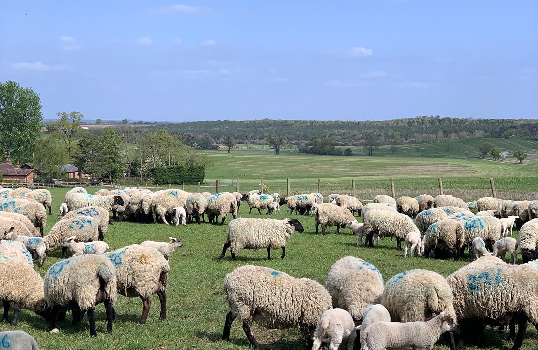 Sheep in a field following the herd